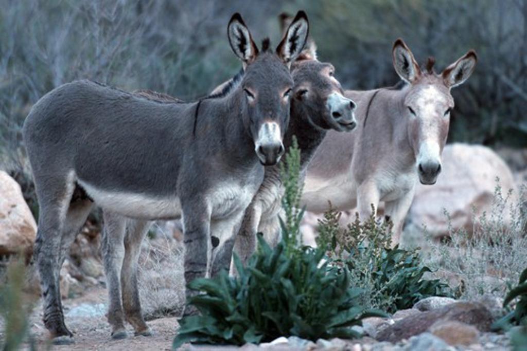 USA, Arizona, Grand Canyon National Park, Donkeys : Stock Photo