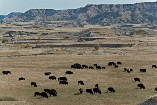 USA, South Dakota, Badlands National Park, Sage Creek Wilderness, Herd of Bisons in Landscape : Stock Photo