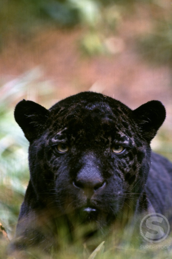 Stock Photo: 647-238 Close-up of black panther