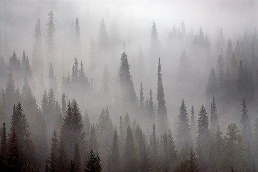 USA, Washington State, Spruce Forest in Fog : Stock Photo