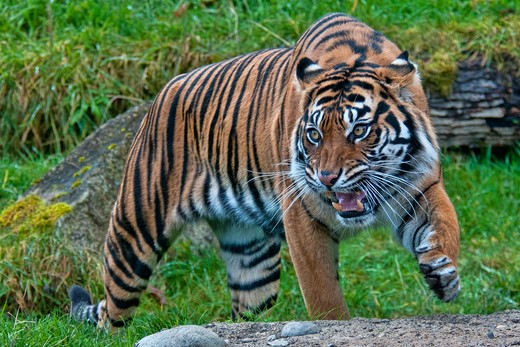 Stock Photo: 647-2407 sumatran tiger