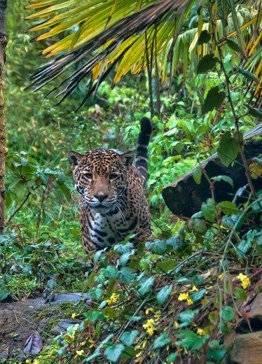 Stock Photo: 647-2415 jaguar-panthera onca