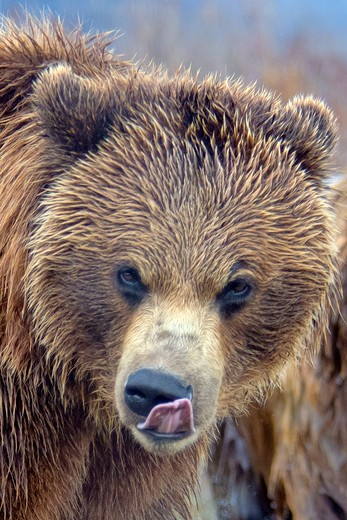 brown bears-alaska : Stock Photo