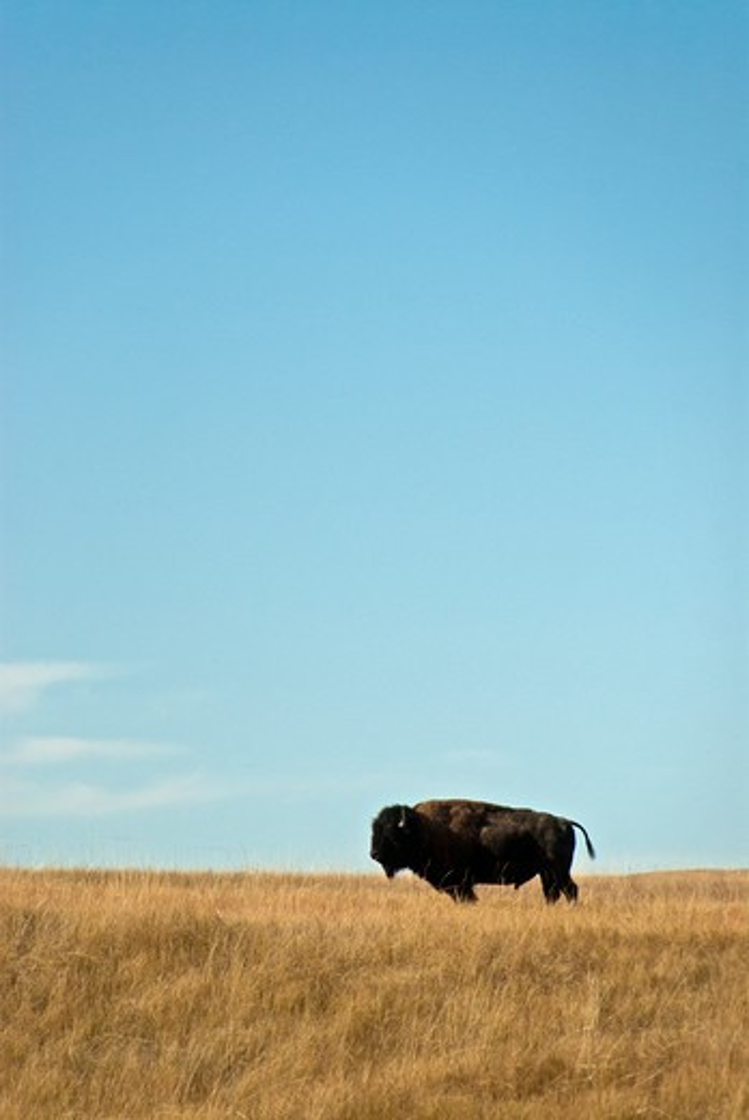 Stock Photo: 647-2437 American bison standing sideways in grasslands