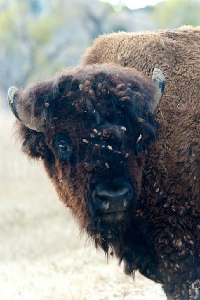 Stock Photo: 647-2444 Bison portrait closeup.