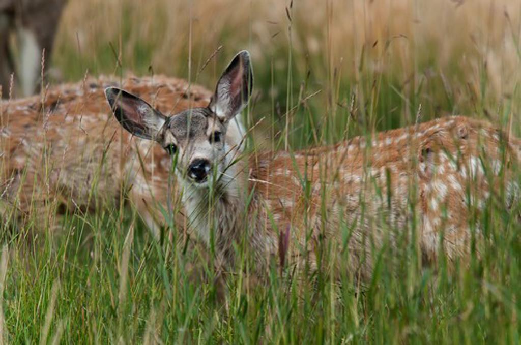 Stock Photo: 647-2447 Mule deer baby fawn.