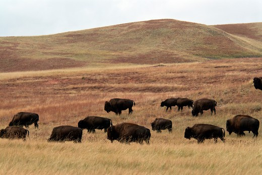 Bison herd on prairie. : Stock Photo
