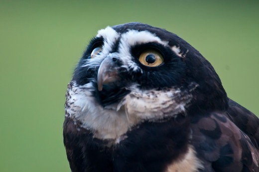 spectacled owl--pulsatrix perspicillata : Stock Photo