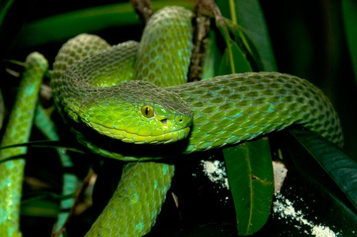 Stock Photo: 647-2499 Western Green Mamba, Dendroaspis Viridis