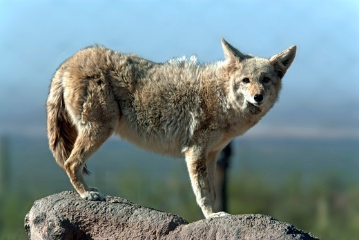 Coyote (Canis latrans) standing on a rock, Arizona, USA : Stock Photo