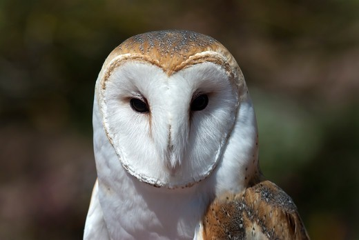 Close-up of a captive Barn owl (Tyto alba), Arizona, USA : Stock Photo