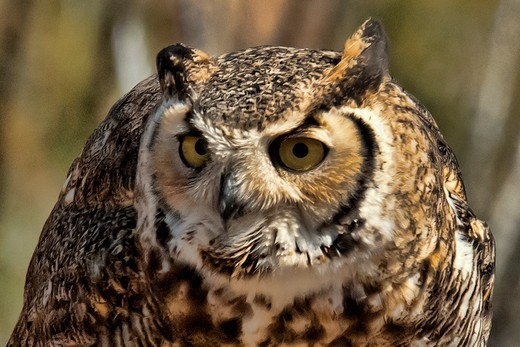 Stock Photo: 647-2550 Close-up of a Great Horned owl (Bubo virginianus), Arizona, USA