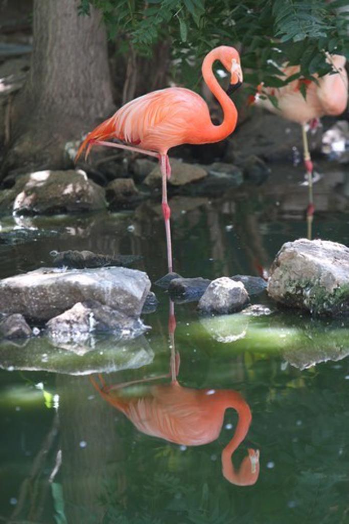 Stock Photo: 647-2552 USA, Colorado, Denver, Zoo, Flamingo