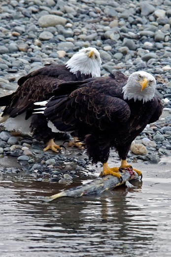 Stock Photo: 647-2591 USA, Alaska, Chilkat Bald Eagle Preserve, Bald Eagle (Haliaeetus Leucocephalus)