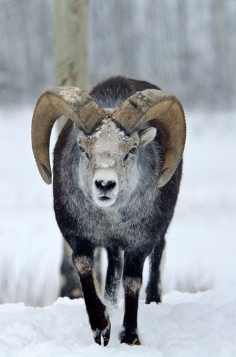 Stock Photo: 647-2602 Canada, Yukon Wildlife Preserve, Stone Sheep (Ovis Dalli Stonei)
