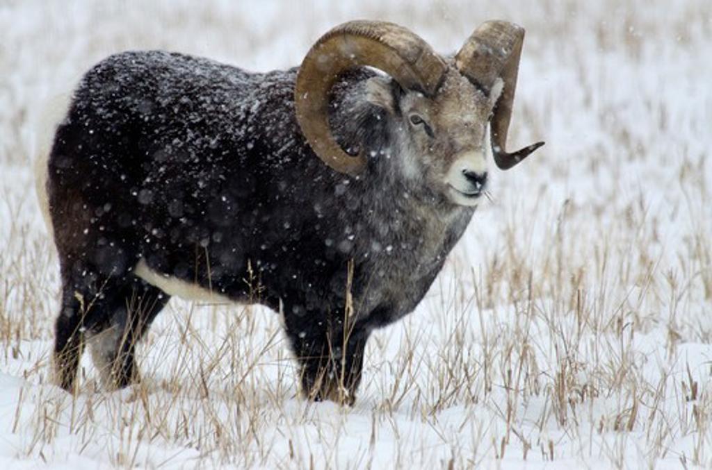 Stock Photo: 647-2613 Canada, Yukon Wildlife Preserve, Stone Sheep (Ovis Dalli Stonei)