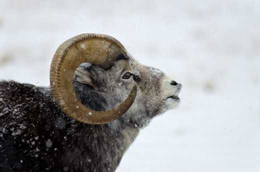 Canada, Yukon Wildlife Preserve, Stone Sheep (Ovis Dalli Stonei) : Stock Photo