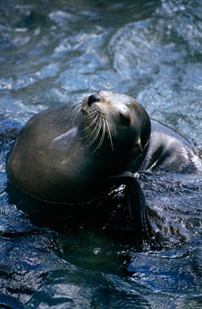 Stock Photo: 647-514 Hawaiian Monk seal (Monachus schauinslandi) in water