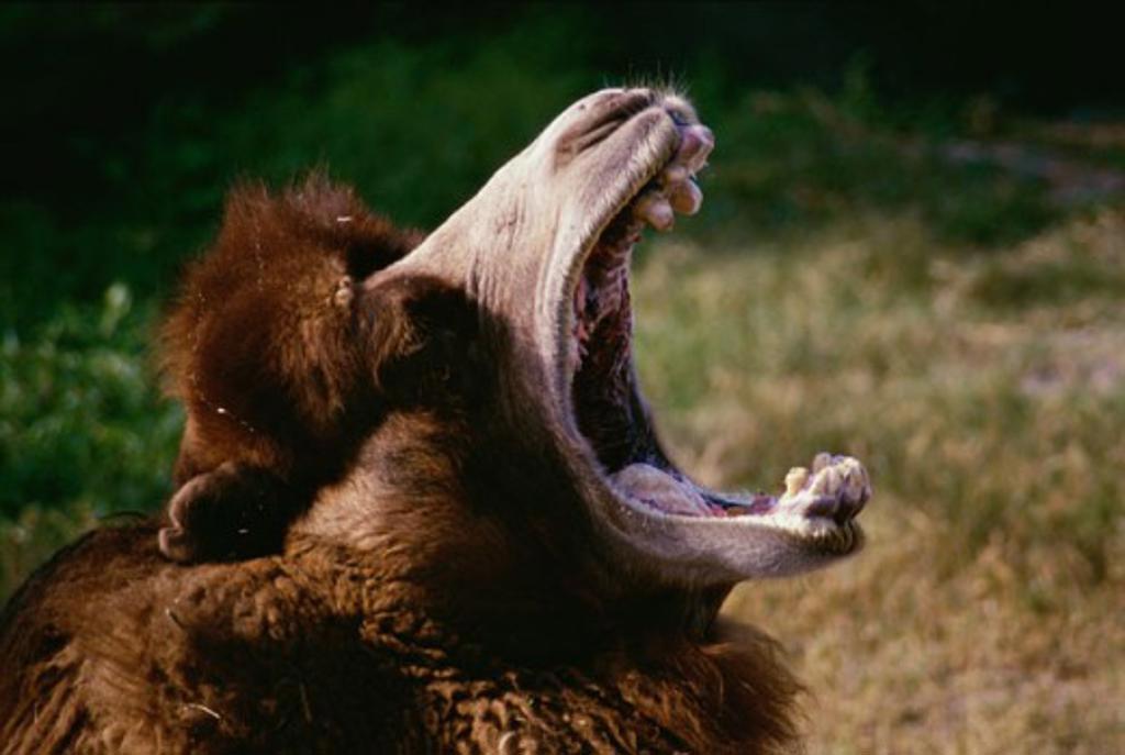 A Camel yawning : Stock Photo
