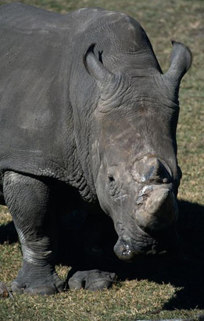 White rhinoceros (Ceratotherium simum) in a field : Stock Photo
