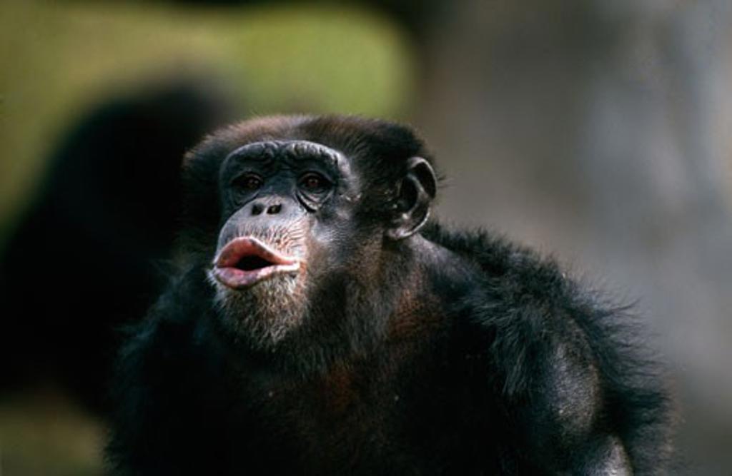 Portrait of Chimpanzee (Pan troglodytes) : Stock Photo