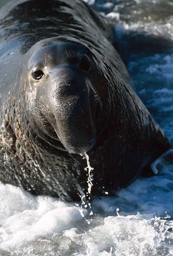 Stock Photo: 647-850 Close-up of an Elephant seal in water