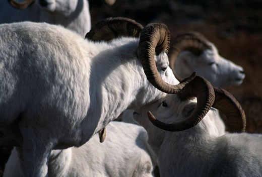 Herd of Dall sheep (Ovis dalli) : Stock Photo