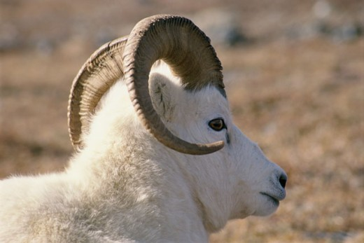 Dall's Sheep, Mount McKinley, Denali National Park, Alaska, USA (Ovis Dalli) : Stock Photo