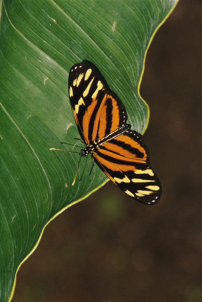 Tiger Mimic-Queen butterfly on a leaf (Lycorea cleobaea) : Stock Photo