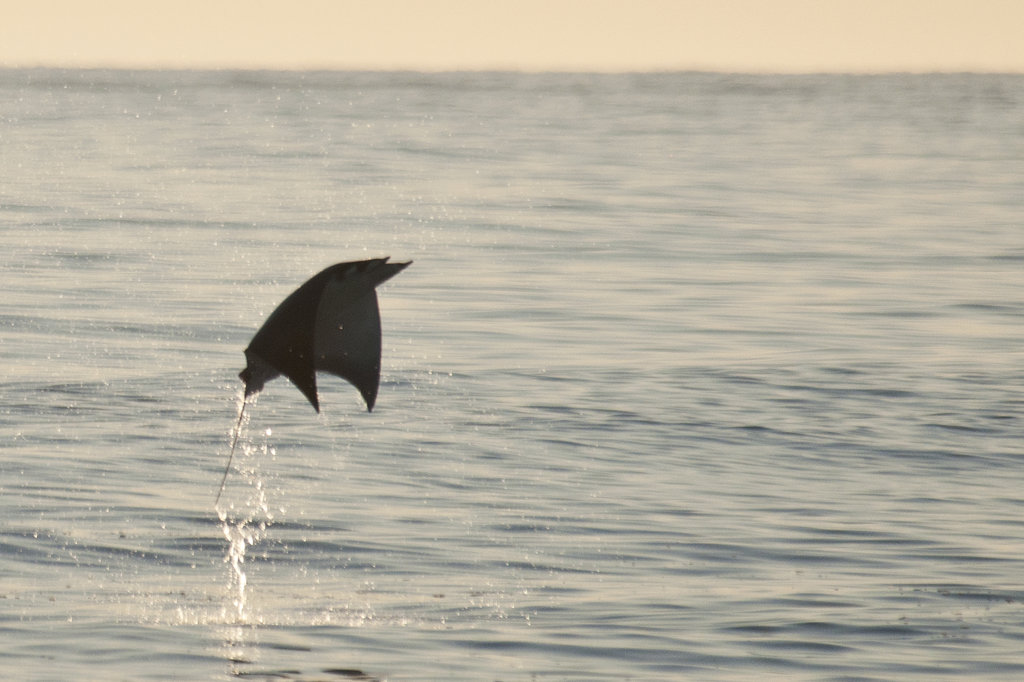 Stock Photo: 647R-2245 Mexico, Baja California Sur, Los Barriles, Sea of Cortes, flying mobula (family mobulidae)