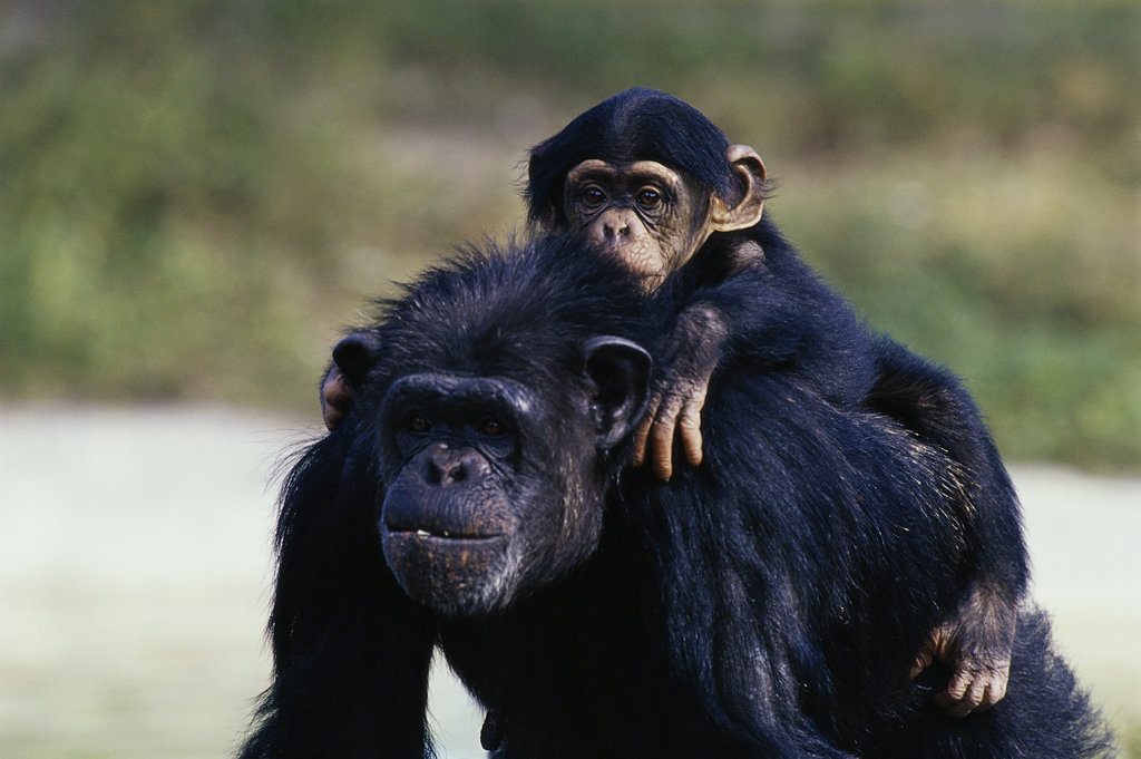 Young chimpanzee sitting on an adult : Stock Photo