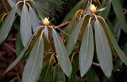 Close-up of leaves of Rhododendron plant : Stock Photo