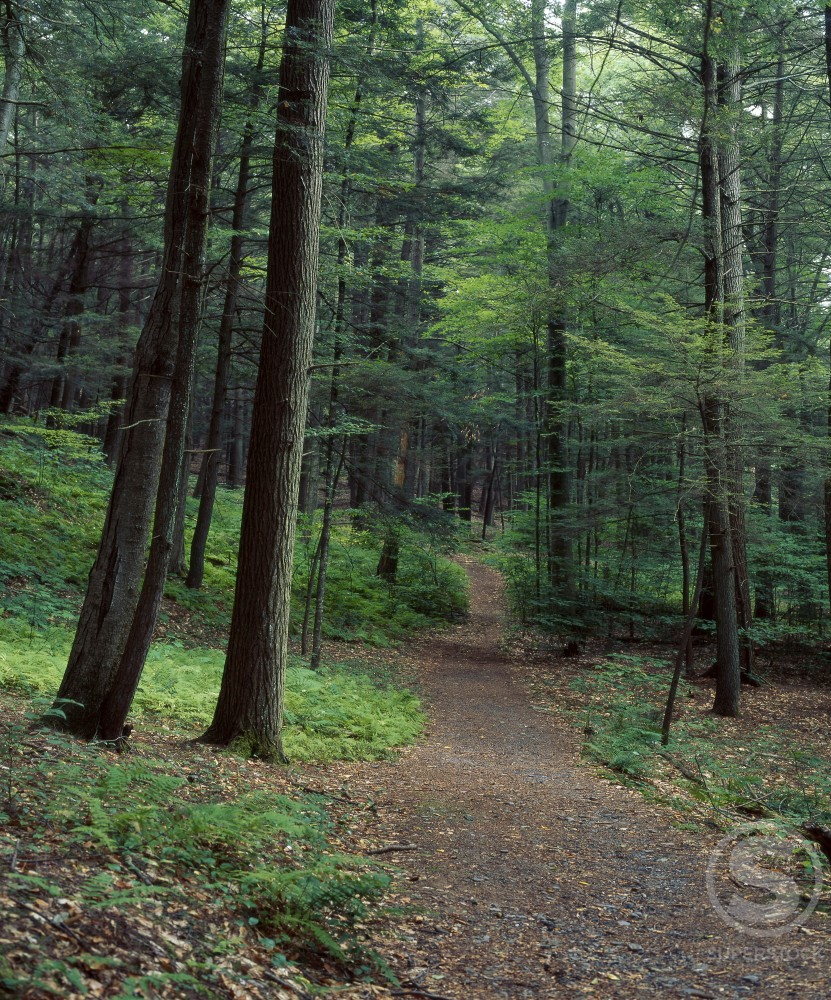 Hemlock trees pennsylvania usa stock photo 655 129 for How to calculate board feet in a tree