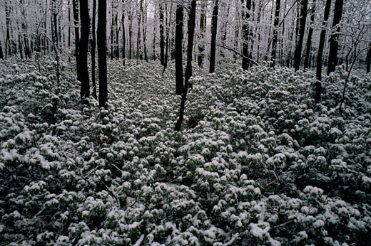 Snow covered plants in a forest, Promised Land State Park, Pennsylvania, USA : Stock Photo