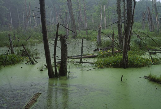 Alder trees in a swamp, Woodbourne Forest and Wildlife Preserve, Pennsylvania, USA : Stock Photo