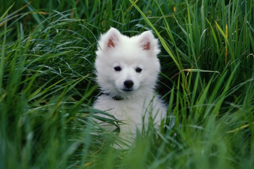 Stock Photo: 662-1136A American Eskimo