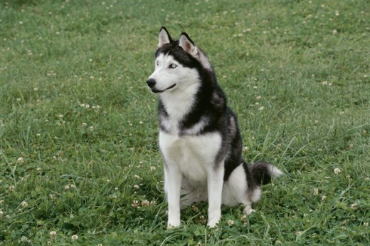 Stock Photo: 662-1162 Siberian Husky