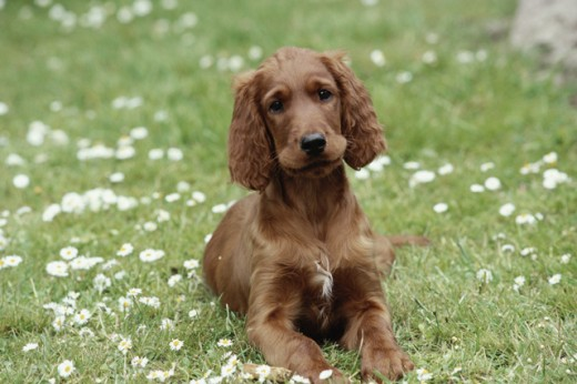 Stock Photo: 662-1219 Irish Setter