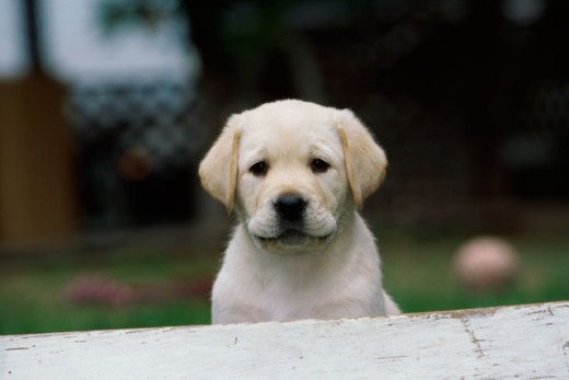 Stock Photo: 662-1300 Portrait of a Golden Retriever puppy on a lawn