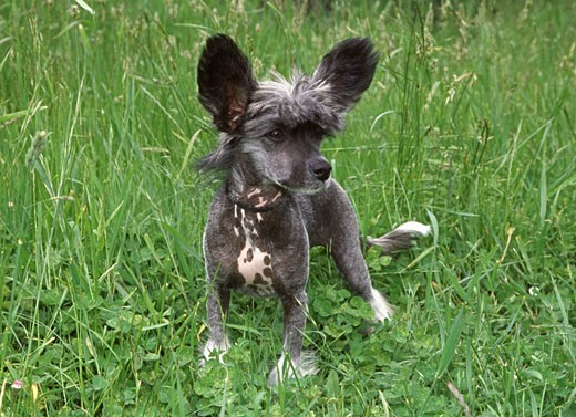 Stock Photo: 662-1370A Chinese Crested puppy standing in a garden