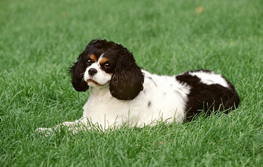 Stock Photo: 662-1376 Close-up of a Cavalier King Charles Spaniel dog sitting in a lawn
