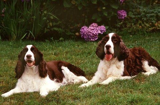 Stock Photo: 662-1438 Two English Springer Spaniel dogs sitting in a lawn