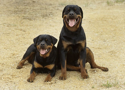 Stock Photo: 662-1688A Two Rottweilers sitting in a field