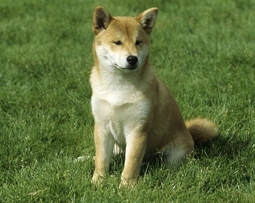 Shiba Inu dog sitting in a park : Stock Photo