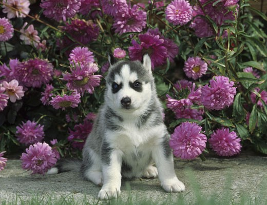 Siberian Husky puppy sitting in garden : Stock Photo