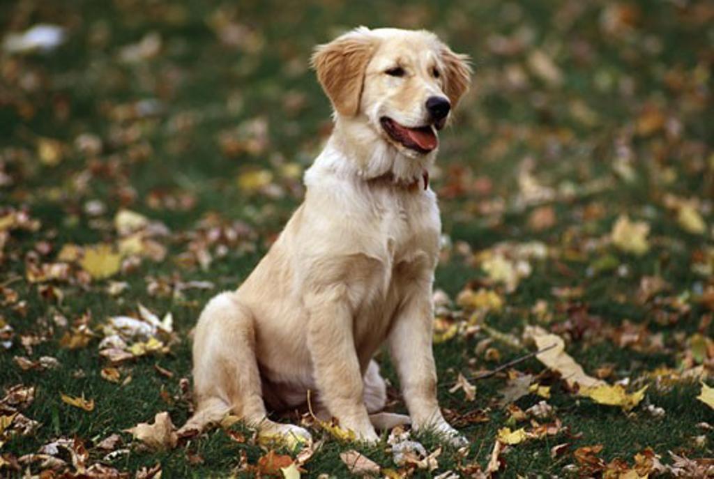 Golden retriever in a lawn : Stock Photo