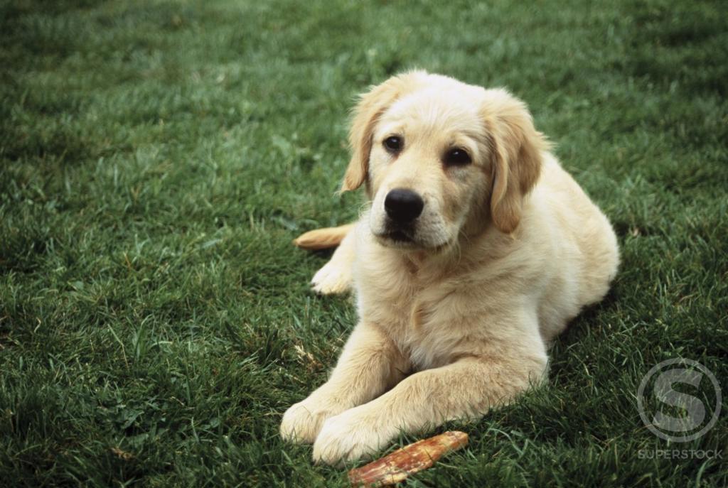 Golden Retriever : Stock Photo
