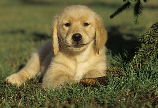 Stock Photo: 662-1766 Golden Retriever puppy sitting on grass