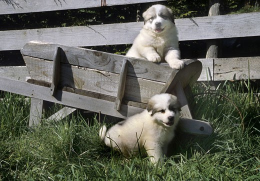 Two Great Pyrenees puppies playing in lawn : Stock Photo