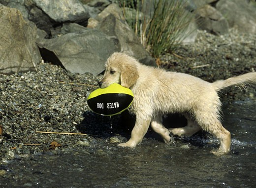 Stock Photo: 662-1807 Golden Retriever puppy with a ball in its mouth